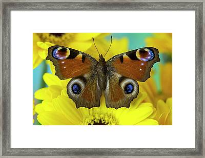 The European Peacock Butterfly, Inachis Framed Print