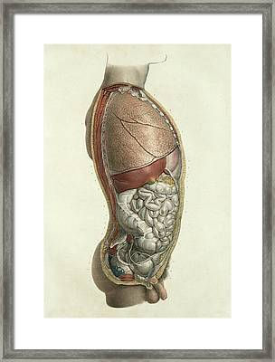 Thorax And Abdomen Framed Print by Science Photo Library
