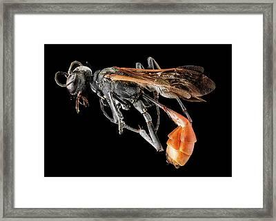 Thread-waisted Wasp Framed Print
