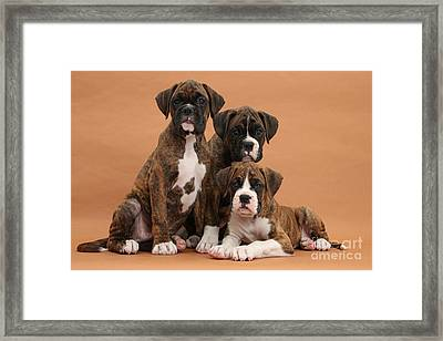 Three Boxer Puppies Framed Print