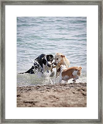 Three Dogs Playing On Beach Framed Print