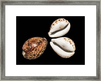 Tiger Cowrie Framed Print by Natural History Museum, London