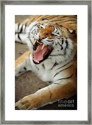 Tiger Framed Print by HD Connelly