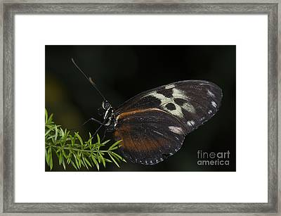 Tiger Longwing Framed Print by JT Lewis