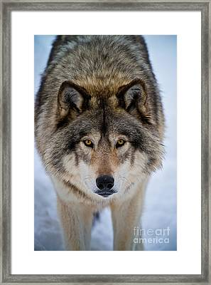 Timber Wolf Picture Framed Print