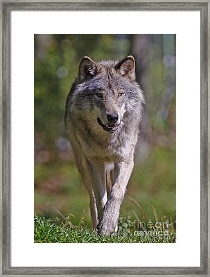 Framed Print featuring the photograph Timber Wolf  by Wolves Only