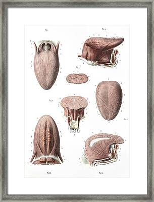 Tongue Anatomy Framed Print by Science Photo Library