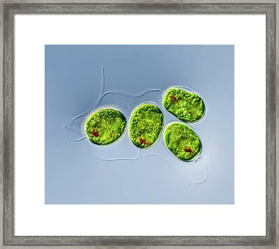 Trachelomonas Sp. Protist Framed Print