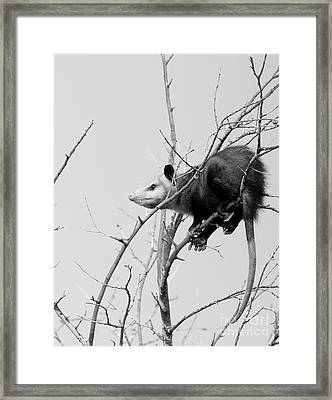 Treed Opossum Framed Print by Robert Frederick