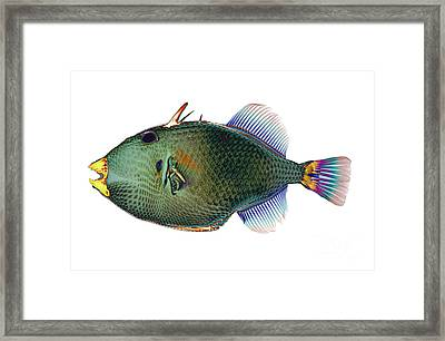 Triggerfish X-ray Framed Print by D Roberts
