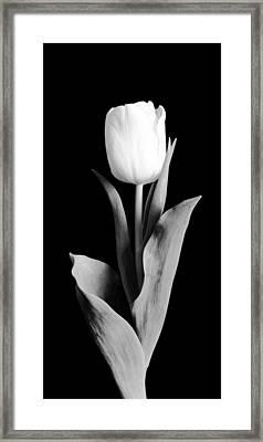 Tulip Framed Print by Sebastian Musial