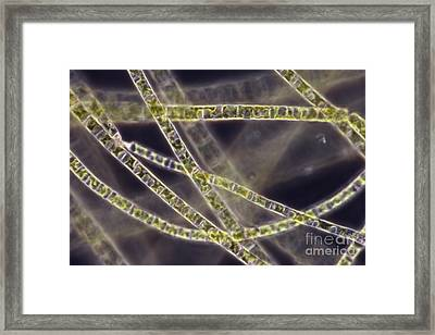 Ulothrix Sp. Algae, Lm Framed Print by David M. Phillips