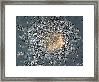 Urine-derived Stem Cells Framed Print