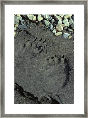 Usa, Alaska, Grizzly Bear Tracks Framed Print