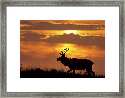 Usa, California, Sunset, Tule Elk Framed Print