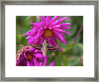 Usa, Colorado White-lined Sphinx Moth Framed Print by Jaynes Gallery