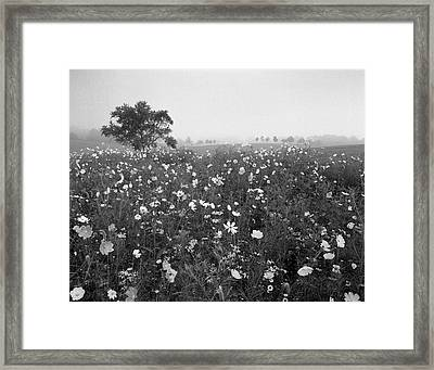 Usa, Kentucky, Union, Field Of Cosmos Framed Print by Adam Jones