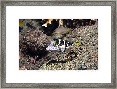 Valentinis Sharpnose Puffer Framed Print by Georgette Douwma