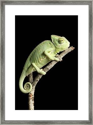 Veiled Chameleon On A Stick Framed Print