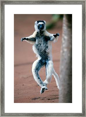 Verreauxs Sifaka Propithecus Verreauxi Framed Print by Panoramic Images