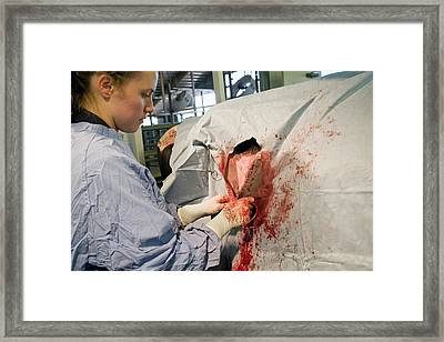 Veterinarian Operating On A Cow Framed Print by Jim West