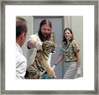 Vets Examining An Amur Tiger Cub Framed Print by Jim West