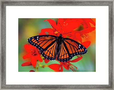 Viceroy Butterfly A Mimic Framed Print