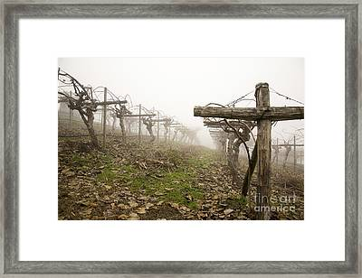 Vineyard In The Fog Framed Print