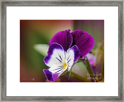 Viola Named Sorbet Blackberry Cream Framed Print by J McCombie