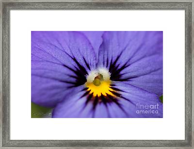 Viola Named Sorbet Blue Heaven Jump-up Framed Print by J McCombie