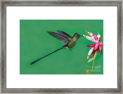 Violet-tailed Sylph Framed Print