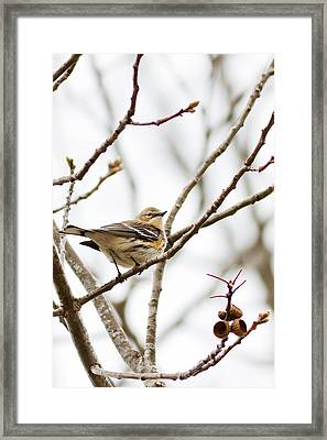 Framed Print featuring the photograph Warbler Calls by Annette Hugen