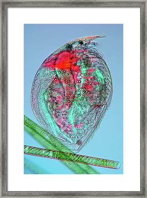 Water Flea Framed Print by Marek Mis