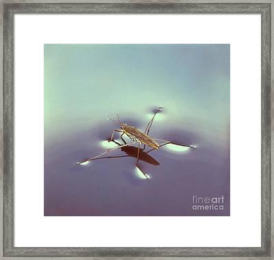 Water Strider Framed Print by Hermann Eisenbeiss