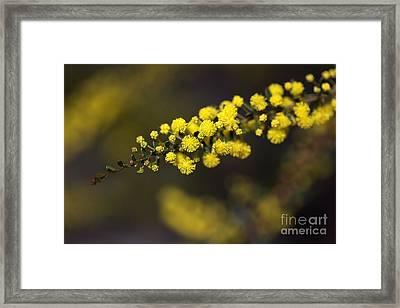 Wattle Flowers Framed Print by Joy Watson
