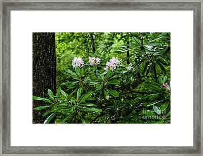 West Virginia State Flower Framed Print by Thomas R Fletcher