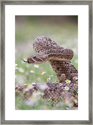 Western Diamondback Rattlesnake Framed Print by Larry Ditto