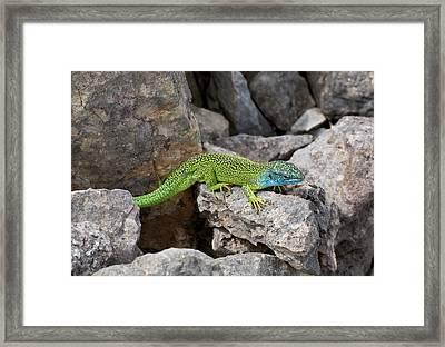 Western Green Lizard Framed Print
