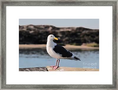 Western Gull At Moss Landing Inlet Framed Print by Susan Wiedmann