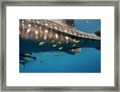 Whale Shark And Golden Trevally Framed Print by Pete Oxford