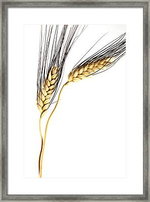 Wheat On White Framed Print by Carol Leigh