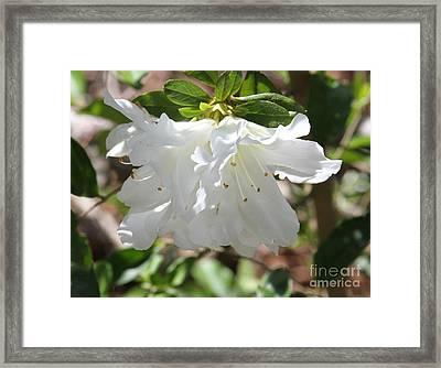 White Azalea Framed Print
