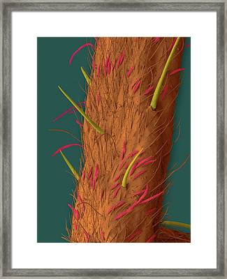 White-banded Fishing Spider Leg Framed Print by Dennis Kunkel Microscopy/science Photo Library