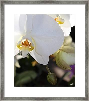 White Orchid Three Framed Print by Mark Steven Burhart