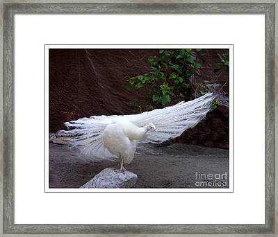 Framed Print featuring the photograph White Peacock by Mariarosa Rockefeller