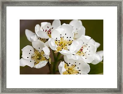 Beautiful White Spring Blossom Framed Print