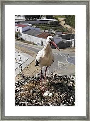 White Stork With Eggs Framed Print