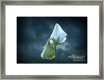 White Sweet Pea  Framed Print by Marjorie Imbeau