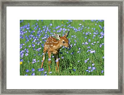 White-tailed Deer Fawn Framed Print