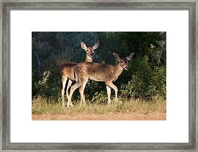 White-tailed Deer (odocoileus Framed Print